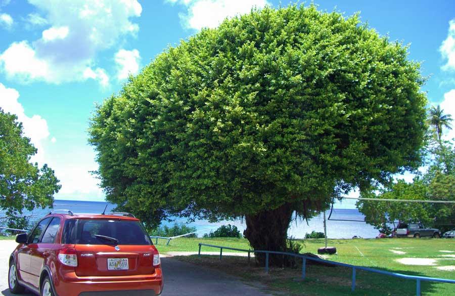 グアムの自然 大きな木