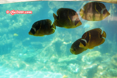 アウラニディズニーのシュノーケリングで見られる魚