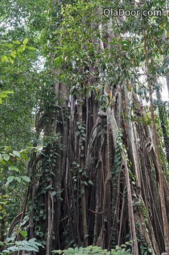 シンガポール植物園の熱帯雨林