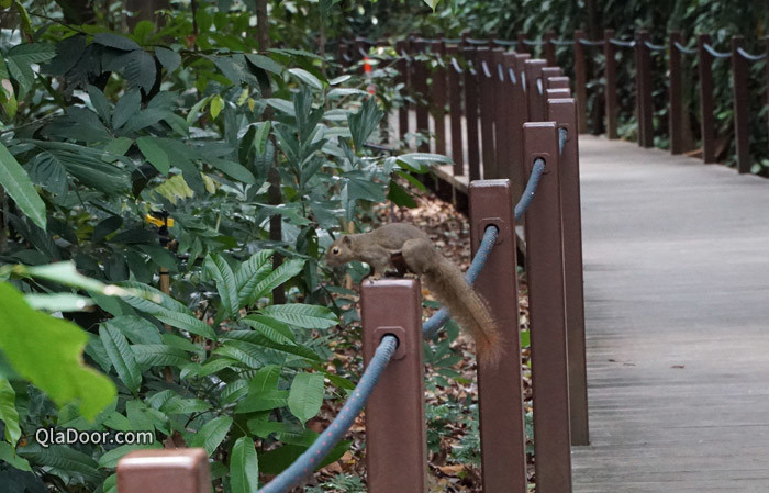シンガポール植物園のリス