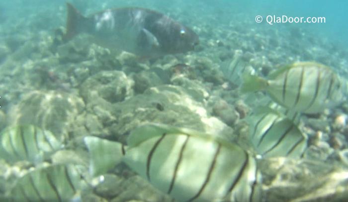 ハナウマ湾(ハナウマベイ)のシュノーケリングで見られる魚