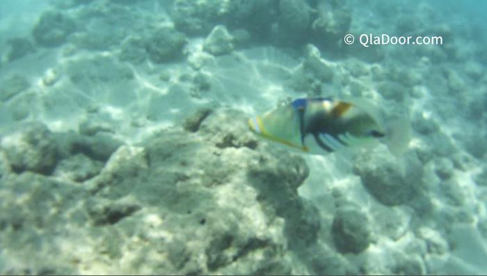 ハワイ・ハナウマ湾のシュノーケリングで見られる魚や岩
