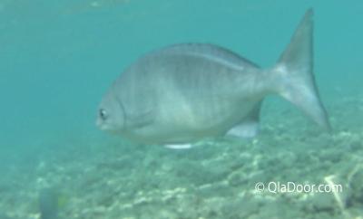 ハナウマ湾のシュノーケリングで見れる魚の種類画像