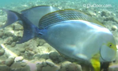 ハナウマ湾(ハナウマベイ)の魚の種類画像